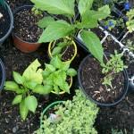 5/10/2011 Sunday Herb and Veggie Haul