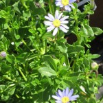 5/26/2011 A trio of blue felicia daisies