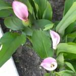 5/27/2011 Jim's Callas 2