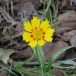 5/28/2011 Coreopsis blooming