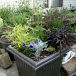 5/31/2011 White Nymph salvia planter