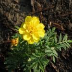 6/6/2011 Yellow Durango Marigold