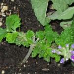 6/6/2011 Purple Star verbena cutting in bloom