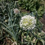 6/18/2011 Community Garden Early Summer (5)