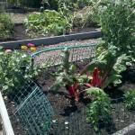 6/18/2011 Community Garden Early Summer (6)