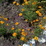 6/18/2011 Community Garden Early Summer (8)