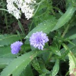 6/21/2011 A blue aster in bloom