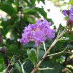 6/21/2011 Crape Myrtle lavender purple
