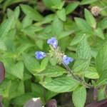 7/13/2011 First Sinaloa sage blooms (1)