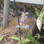 7/13/2011 First Sinaloa sage blooms (3)