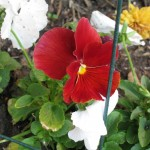 10/24/2011 A pretty clear red pansy