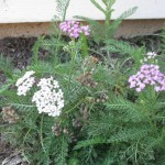 10/24/2011 Oertel's Rose Yarrow in fall bloom