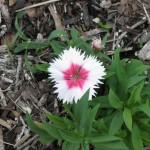 10/24/2011 Valentine dianthus in fall bloom