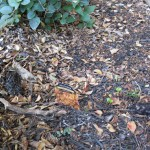 10/24/2011 Empty (heuchera) places (1)
