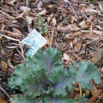 10/24/2011 Surprise Japanese painted fern behind ornamental kale