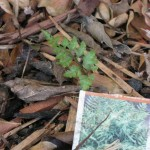 10/24/2011 Surprise Japanese painted fern
