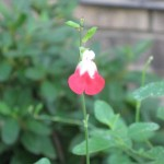 10/24/2011 Hot Lips Salvia showing off