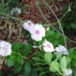 10/24/2011 Reseeded vinca still blooming crazy