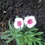 10/26/2011 Twin Valentine Dianthus Blooms (1)