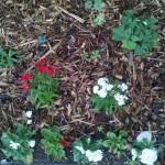 10/26/2011 Dianthus, oxalis, columbine, pansies