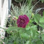 10/28/2011 Roses, Salvia, etc (1)