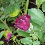 10/28/2011 Roses, Salvia, etc (3)