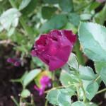10/28/2011 Roses, Salvia, etc (5)