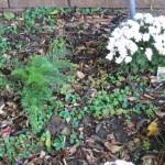 10/28/2011 Roses, Salvia, etc (7)