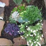 10/28/2011 Roses, Salvia, etc (9)
