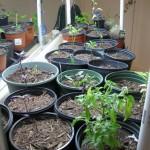 11/5/2011 Seeds and indoor garden (2)