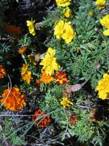11/5/2011 Durango Bolero marigold among the Outback mix