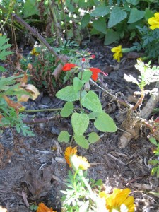 11/5/2011 A new Lady in Red salvia coccinea from dropped seed