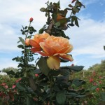 11/12/2011 Earthkind Trial Rose Garden (1)