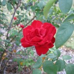 11/12/2011 Earthkind Trial Rose Garden (9)