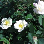 11/12/2011 AARS Test Garden (25)