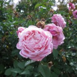 11/12/2011 Earthkind Trial Rose Garden (19)