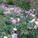 11/12/2011 Earthkind Trial Rose Garden (21)