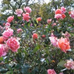 11/12/2011 Earthkind Trial Rose Garden (26)