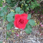 11/12/2011 Earthkind Trial Rose Garden (33)