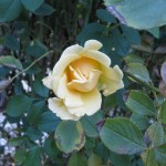 11/12/2011 Earthkind Trial Rose Garden (40)