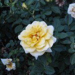 11/12/2011 Earthkind Trial Rose Garden (49)