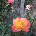 11/12/2011 Earthkind Trial Rose Garden (53)