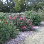 11/12/2011 Earthkind Trial Rose Garden (57)