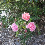 11/12/2011 Earthkind Trial Rose Garden (68)
