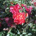 11/12/2011 Earthkind Trial Rose Garden (70)