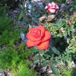 11/12/2011 AARS Test Garden (3)