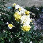 11/12/2011 AARS Test Garden (4)