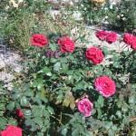 11/12/2011 AARS Test Garden (16)