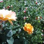 11/12/2011 AARS Test Garden (18)