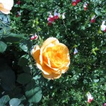 11/12/2011 AARS Test Garden (19)